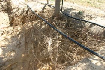Excavated roots of a fruit tree showing that most of the roots are in the top foot of soil
