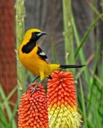 Hooded Oriole photo by Pamela Rose Hawken, Madrone Audobon