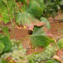 Grower Chard 2013 08 22 IMG_0205