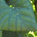 Grower Chard #1 2013 09 06