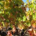 Grower Cab Sauv #3 2013 10 27
