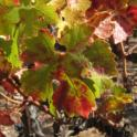 Grower Cab Sauv #4 2013 10 27