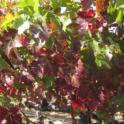 Grower Cab Sauv #1 2013 10 27
