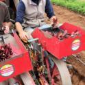 Mechancial transplanting of lettuce