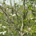 Pear tree showing uneven leafing out and flowering due to inadequate winter chilling.