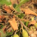 Close up of a blossom spur that formed fruit but died from fire blight