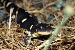 CA Tiger Salamander