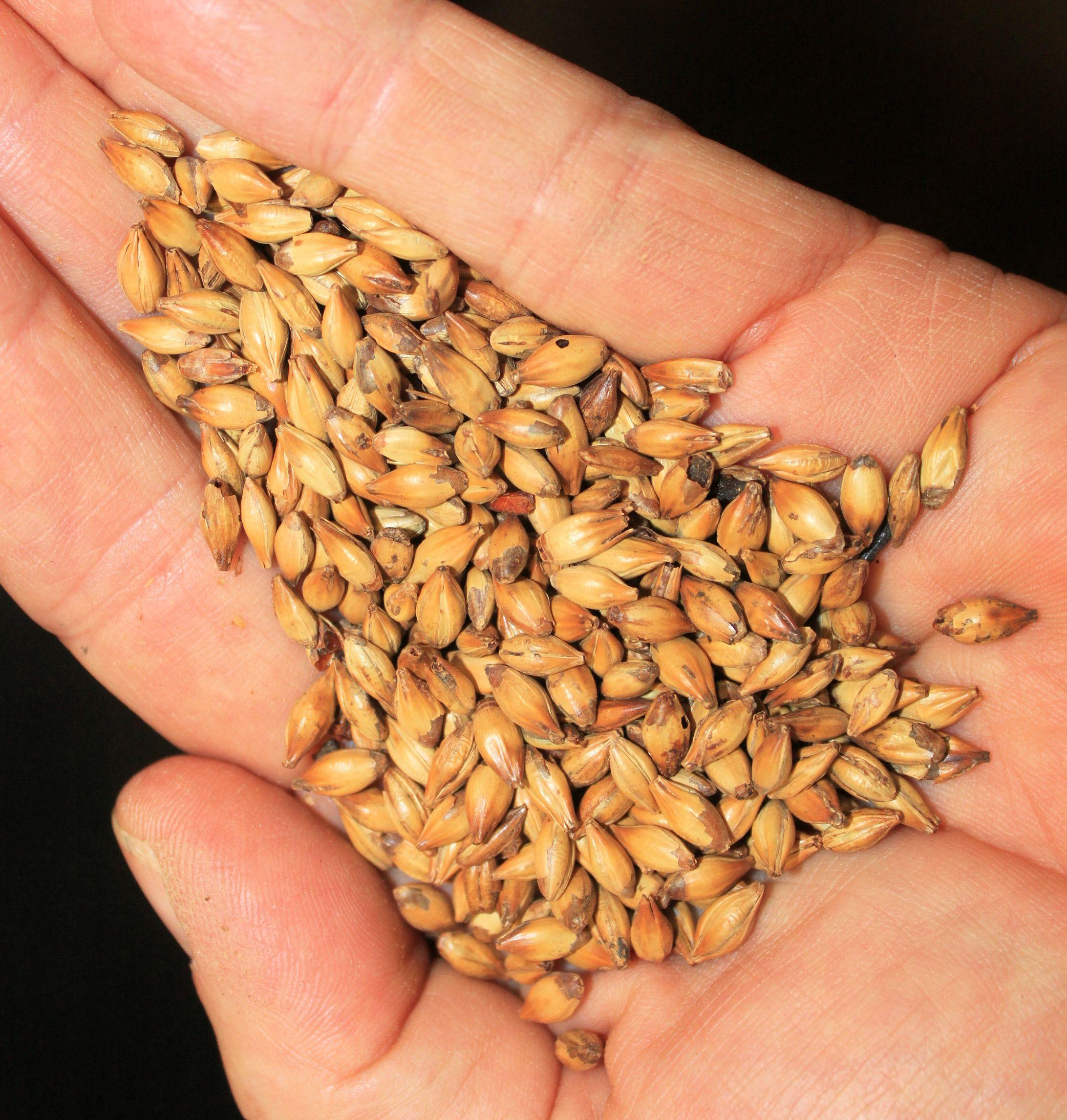 16 Malted grains