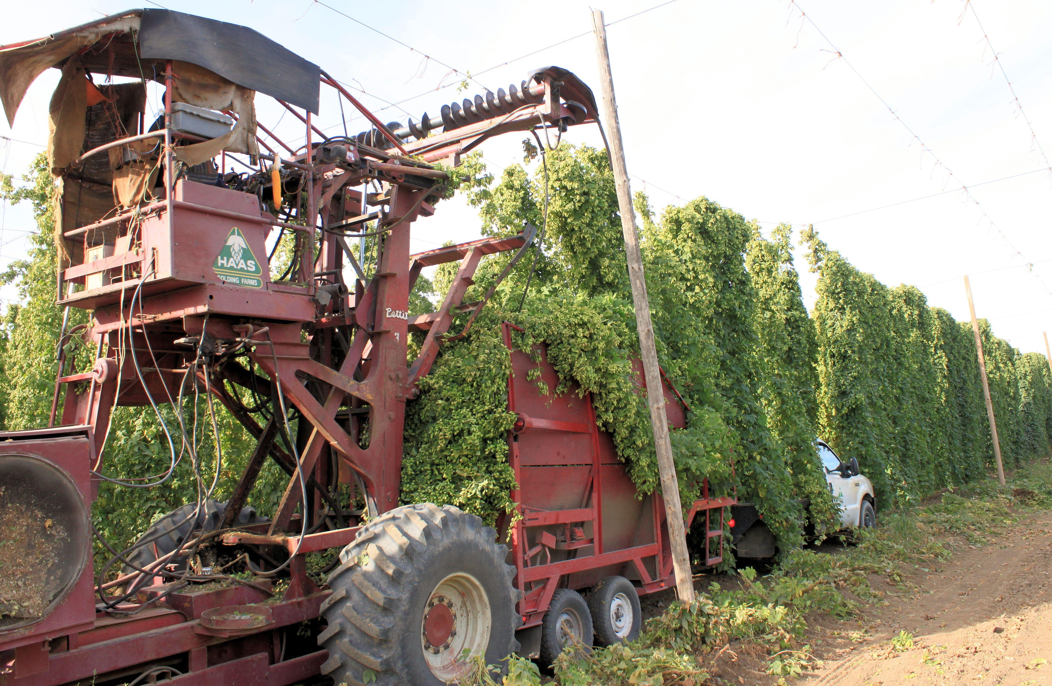 07 Hop harvest - top cutter dropping vines into trailer for transport to the processing plant nearby