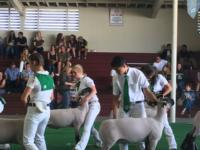 2016 Fair lambs