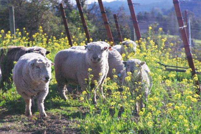 Sheep graze near vineyards at Healdsburg's Puma Springs Vineyards. Photo Credit Tony Crabb of Puma Springs Vineyards.