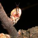 Fig. 2a. European earwig feeding on a bud. Photo: Rhonda Smith