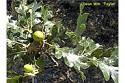 Oregon oak - Q. garryana