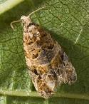 European Grapevine Moth Adult